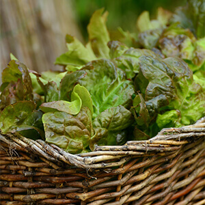 A Simple Way to Grow Lettuce in Winter
